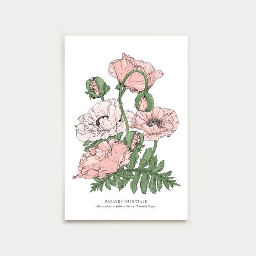 Papaver postikortti, botanical