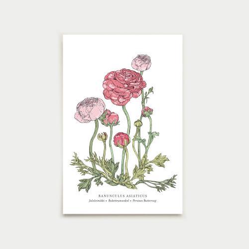 Ranunculus postikortti, botanical