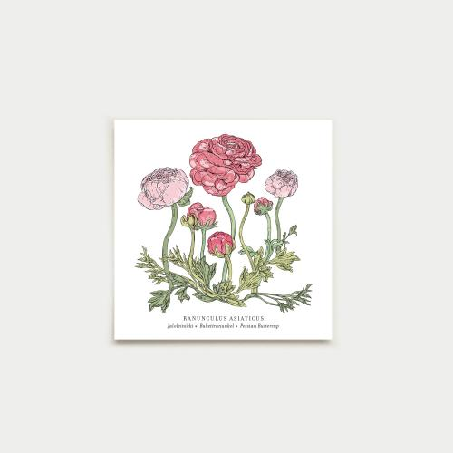 Ranunculus neliökortti, botanical