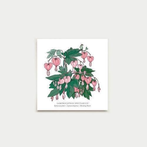 Lamprocapnos fyrkantigt kort, botanical