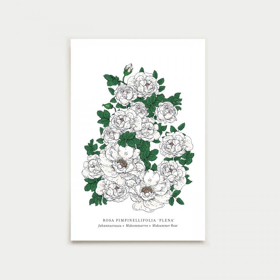 Rosa postikortti, botanical