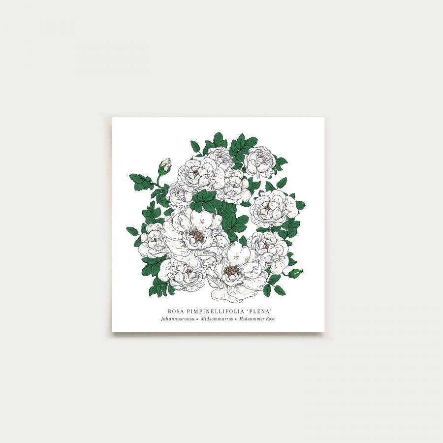 Rosa neliökortti, botanical