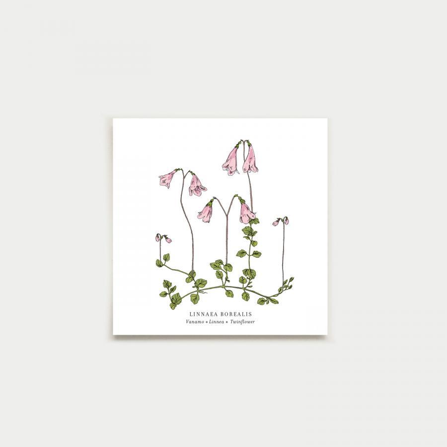 Linnaea neliökortti, botanical